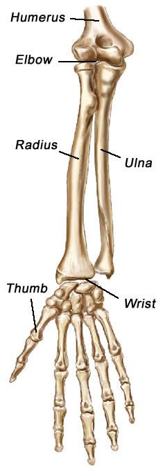 Human radius and ulna
